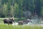 Boulder-County-Mud-Lake-Moose-1